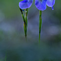 Blue Flag by Julie DeRoche