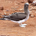 Blue-footed Booby by Robert Selin