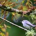 Blue-gray Gnatcatcher In Conifer by Steve Samples