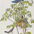 Blue Grosbeak by John James Audubon