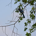 Blue Jay In Tree by Ruth Housley