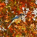Blue Jay by Robert Pearson