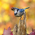 Blue Jay With Acorn by Marie Read