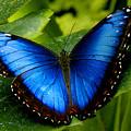 Blue Morpho by Neil Doren