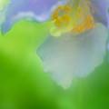 Blue Poppy 4 by Jill Greenaway