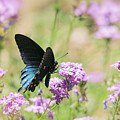 Blue Swallowtail Butterfly  by Saija Lehtonen