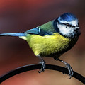 Blue Tit by Adrian Evans