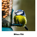 Blue Tit. by Nigel Dudson