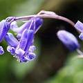 Bluebells by Susie Peek