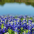 Bluebonnets by Raul Rodriguez