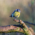 Bluetit On A Branch by Stephen Jenkins