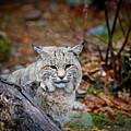 Bobcat by Jim DeLillo