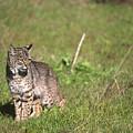Bobcat - Wildcat Beach by Soli Deo Gloria Wilderness And Wildlife Photography