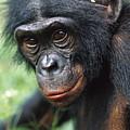 Bonobo Pan Paniscus Portrait by Cyril Ruoso