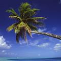 Bora Bora, Palm Tree by Ron Dahlquist - Printscapes