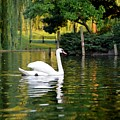 Boston Public Garden Swan Green Reflection by Toby McGuire
