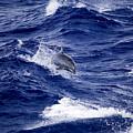 Bottlenose Dolphin Tursiops Truncatus by Tim Laman