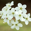Bradford Pear Flower by Iris Richardson
