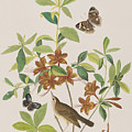 Brown Headed Worm Eating Warbler by John James Audubon