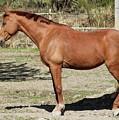 Brown Horse by Esko Lindell