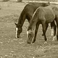 Brown Horses Grazing by Robert Hamm