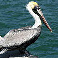 Brown Pelican by Allan  Hughes