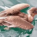 Brown Pelican by Robert Selin