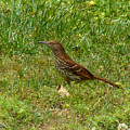 Brown Thrasher by Carl Moore