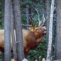 Bugling Bull Elk by Ronald Lutz