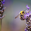 Bumblebee And Lavender by Nailia Schwarz