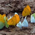 Butterflies Eating Minerals by Aivar Mikko