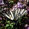 Butterfly 9 by Jean Bernard Roussilhe