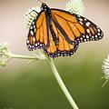 Butterfly In Wait by Chad Davis