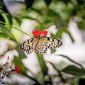 Paper Kite Butterfly by Jimmy Tran