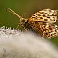 Butterfly by Krzysztof Dac