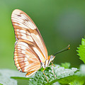 Butterfly On Leaf by Alapati Gallery