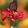 Butterfly On Zinnia by Harold Rau