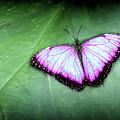 Butterfly by Shaun Wilkinson