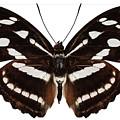 butterfly species Athyma reta moorei by Pablo Romero