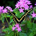 Butterfly by Toni Hopper