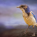 Blue Scrub Jay by Maria Coulson