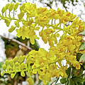 Caesalpinia Cacalaco In Huntington Desert  Gardens In San Marino-california  by Ruth Hager