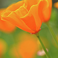 California Spring Poppy Macro Close Up by Brandon Bourdages