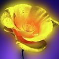 Californian Poppy. by George and Sally Stevenson