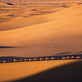 Camel Caravan Crosses The Dunes by Michele Burgess