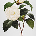 Camellia, 1833 by Granger