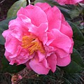 Camellia by Lessandra Grimley