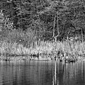 Canada Goose Couple Bw by Steve Harrington