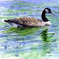 Canada Goose by John D Benson