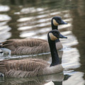 Canadian Geese by Michael Munster